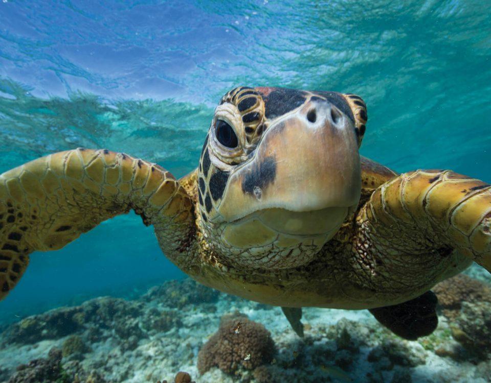 zwemmen met een zeeschildpad, Queensland